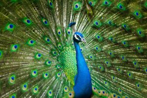Peacock with tail open image by Allan Lau pixabay
