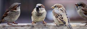 four sparrows image by suju pixabay